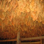 cigar_leaf_drying