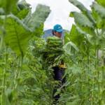 harvesting_tobacco
