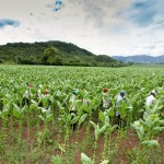 tobacco_field