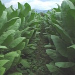 tobacco_field3
