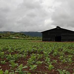tobacco_field_barn