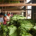 tobacco_leaf_bundles